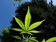 cannabis-1382955__180